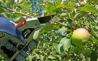 3 gode metoder til beskæring af dit frugttræ